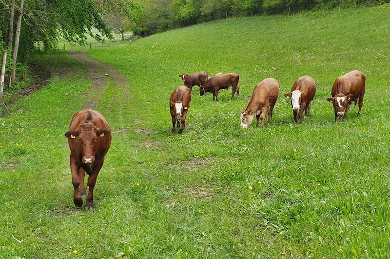 Vaches en plein air